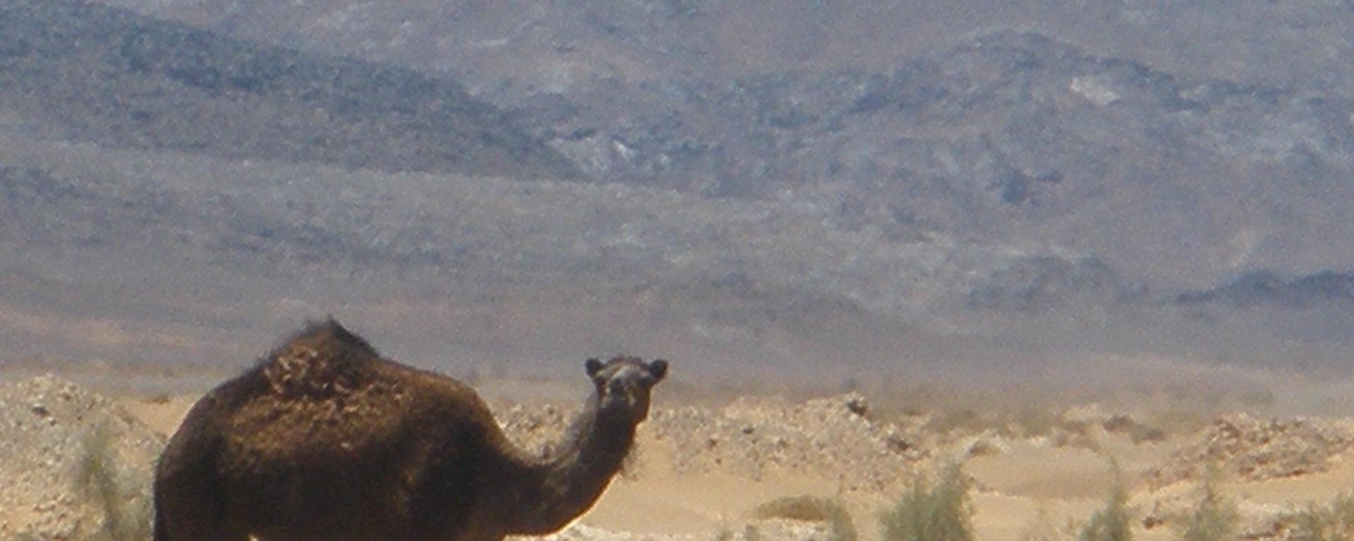 Camel, Morocoo