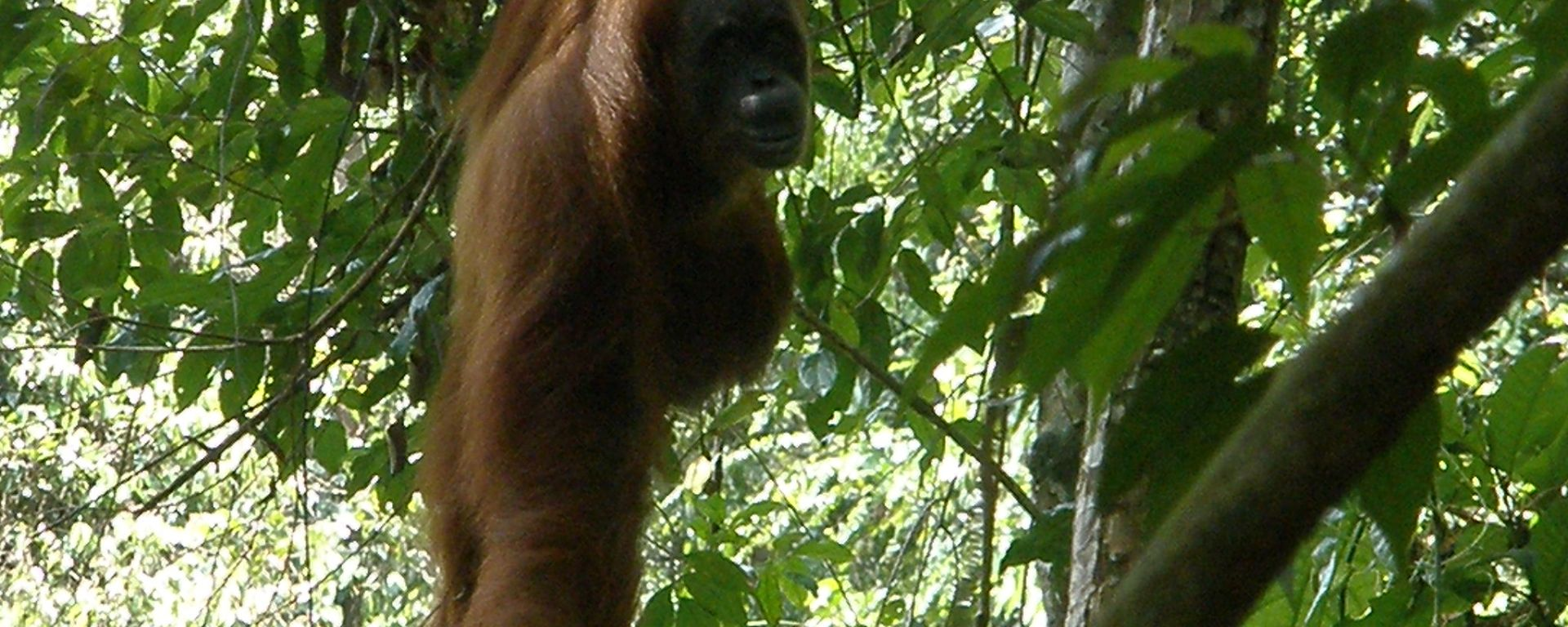 Orangutan, Bukit Lawang