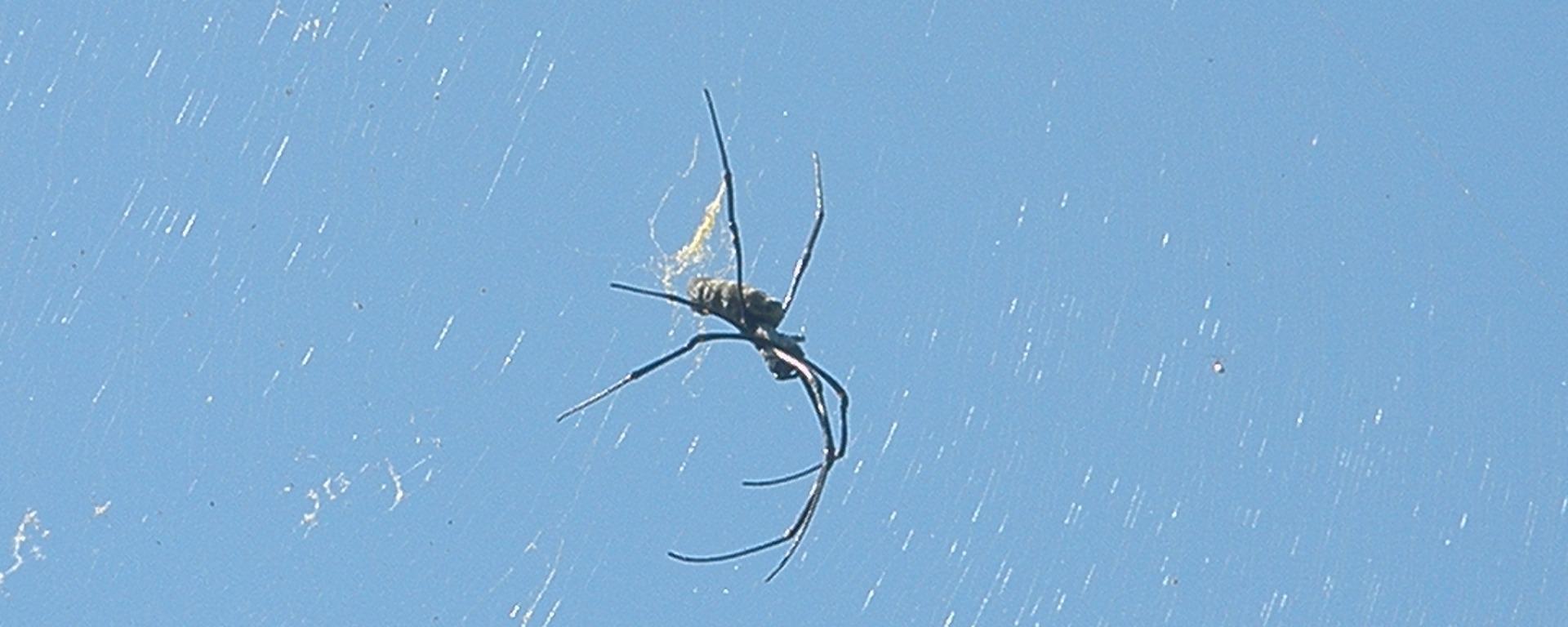 Spider, Gili Trawangan