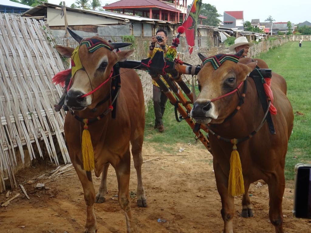 bulls, sumenep